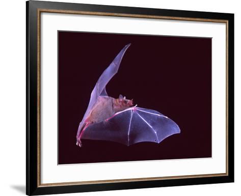 Sanborn's Long-nosed Bat, Arizona, USA-David Northcott-Framed Art Print