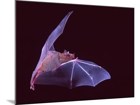 Sanborn's Long-nosed Bat, Arizona, USA-David Northcott-Mounted Photographic Print
