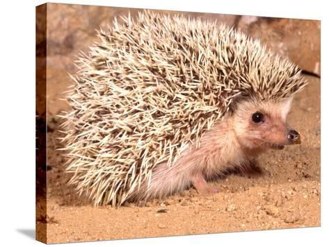 African Hedgehog, Native to Africa-David Northcott-Stretched Canvas Print