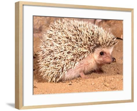 African Hedgehog, Native to Africa-David Northcott-Framed Art Print