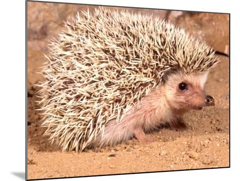 African Hedgehog, Native to Africa-David Northcott-Mounted Photographic Print