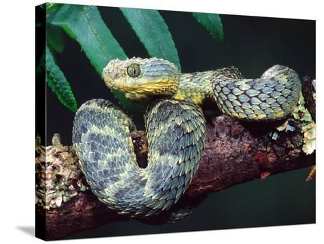African Bush Viper-David Northcott-Stretched Canvas Print