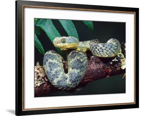 African Bush Viper-David Northcott-Framed Art Print