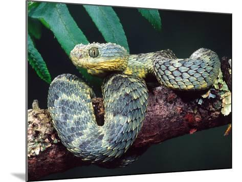 African Bush Viper-David Northcott-Mounted Photographic Print