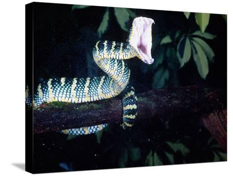 Malaysian Temple Viper Striking-David Northcott-Stretched Canvas Print