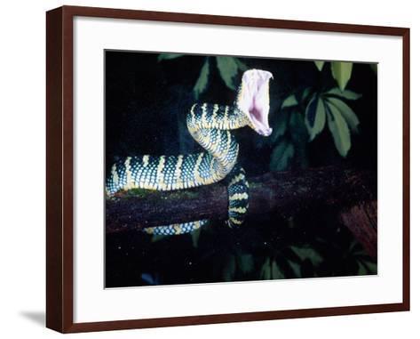 Malaysian Temple Viper Striking-David Northcott-Framed Art Print