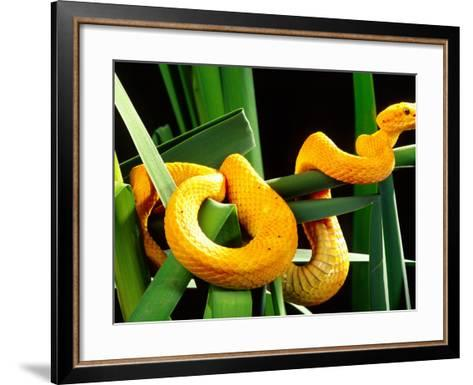 Golden Eyelash Viper-David Northcott-Framed Art Print