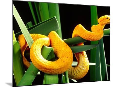 Golden Eyelash Viper-David Northcott-Mounted Photographic Print