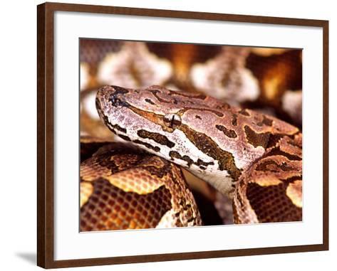 Dumeril's Boa, Native to Madagascar-David Northcott-Framed Art Print