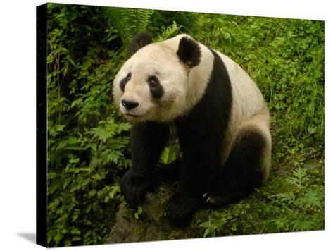 Giant Panda Family, Wolong China Conservation and Research Center for the Giant Panda, China-Pete Oxford-Stretched Canvas Print