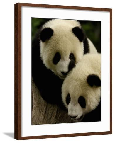 Giant Panda Family, Wolong China Conservation and Research Center for the Giant Panda, China-Pete Oxford-Framed Art Print