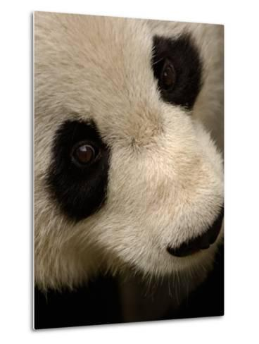 Giant Panda Family, Wolong China Conservation and Research Center for the Giant Panda, China-Pete Oxford-Metal Print