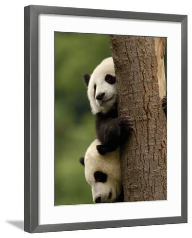 Giant Panda Babies, Wolong China Conservation and Research Center for the Giant Panda, China-Pete Oxford-Framed Art Print