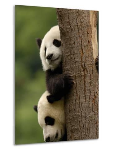 Giant Panda Babies, Wolong China Conservation and Research Center for the Giant Panda, China-Pete Oxford-Metal Print