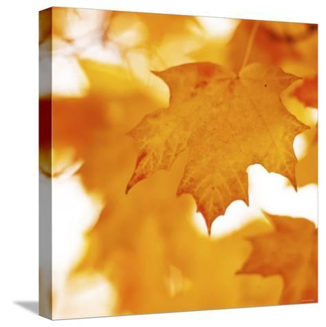 Autumn Leaves in Soft Sunshine II--Stretched Canvas Print