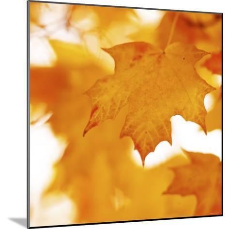 Autumn Leaves in Soft Sunshine II--Mounted Photo