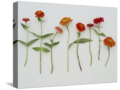 Zinnia Row on White--Stretched Canvas Print