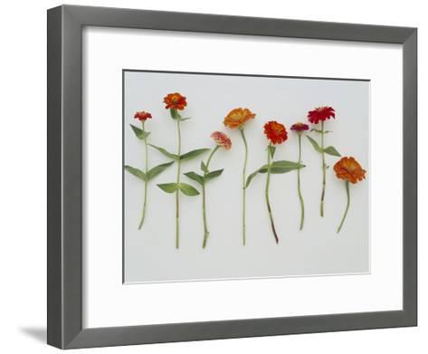 Zinnia Row on White--Framed Art Print
