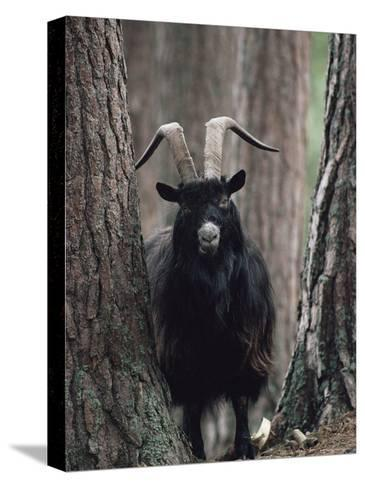Feral Goat Male in Pinewood (Capra Hircus), Scotland-Niall Benvie-Stretched Canvas Print