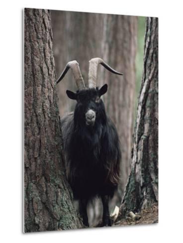 Feral Goat Male in Pinewood (Capra Hircus), Scotland-Niall Benvie-Metal Print