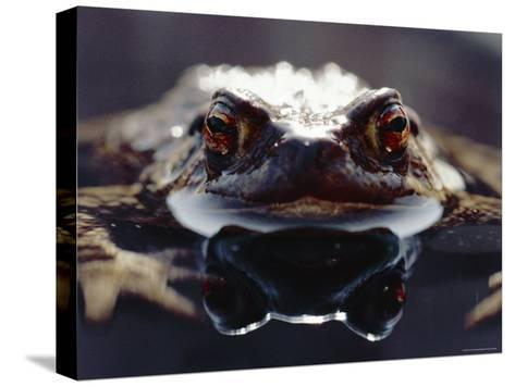 Common European Toad Female Portrait (Bufo Bufo) in Water, England-Chris Packham-Stretched Canvas Print