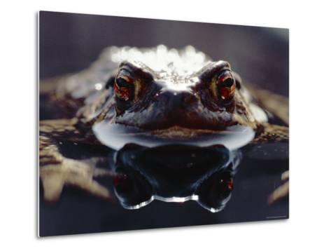 Common European Toad Female Portrait (Bufo Bufo) in Water, England-Chris Packham-Metal Print