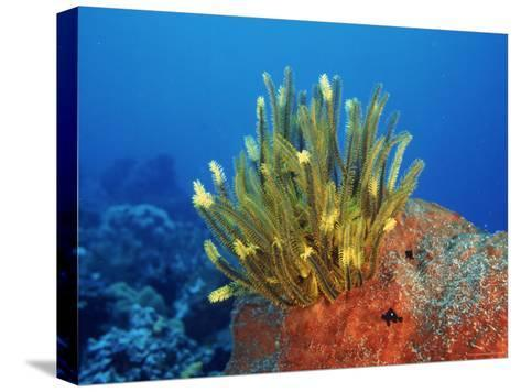 Yellow Featherstars on Sponge, Indo-Pacific-Jurgen Freund-Stretched Canvas Print