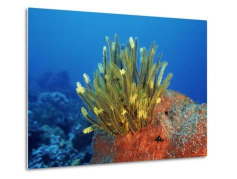 Yellow Featherstars on Sponge, Indo-Pacific-Jurgen Freund-Metal Print