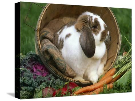French Lop Eared Rabbit in a Tub-Lynn M^ Stone-Stretched Canvas Print