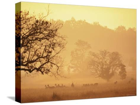 Chital Deer (Axis Axis) at Dawn, Kanha National Park, Madhya Pradesh, India-Pete Oxford-Stretched Canvas Print