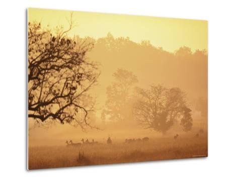 Chital Deer (Axis Axis) at Dawn, Kanha National Park, Madhya Pradesh, India-Pete Oxford-Metal Print