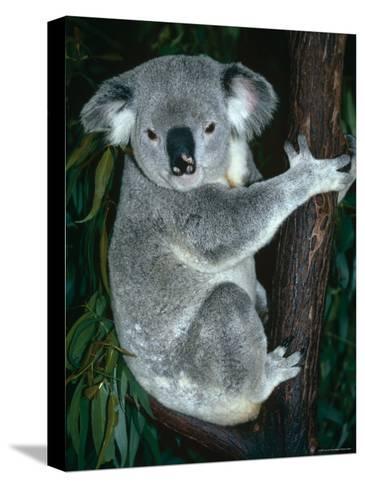 Koala, in Tree, Queensland, Australia-Lynn M^ Stone-Stretched Canvas Print