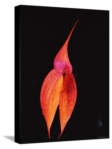 Masdevallia Orchid Flower, Machu Picchu, Peru, Sth America-Pete Oxford-Stretched Canvas Print