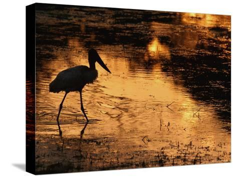 Silhouette of Jabiru Stork in Water, at Sunset, Pantanal, Brazil-Staffan Widstrand-Stretched Canvas Print