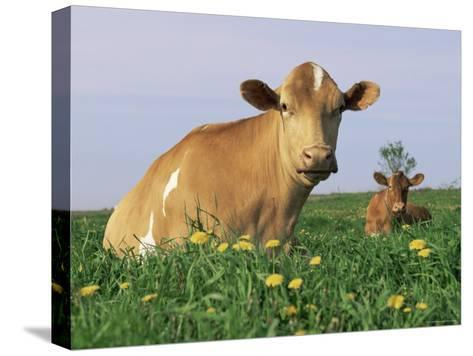 Guernsey Cows, at Rest in Field, Illinois, USA-Lynn M^ Stone-Stretched Canvas Print