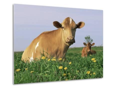 Guernsey Cows, at Rest in Field, Illinois, USA-Lynn M^ Stone-Metal Print