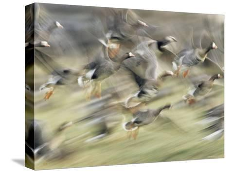 White Fronted Geese, Taking off from Field, Europe-Dietmar Nill-Stretched Canvas Print
