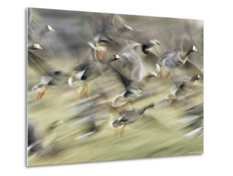 White Fronted Geese, Taking off from Field, Europe-Dietmar Nill-Metal Print