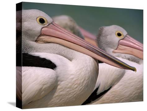 Australian Pelicans, Queensland, Australia-Staffan Widstrand-Stretched Canvas Print