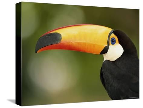 Toco Toucan, Close-Up of Beak, Brazil, South America-Pete Oxford-Stretched Canvas Print