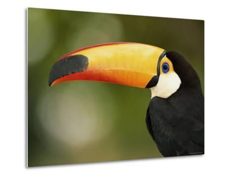 Toco Toucan, Close-Up of Beak, Brazil, South America-Pete Oxford-Metal Print