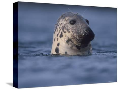 Grey Seal Watching from Water-Niall Benvie-Stretched Canvas Print