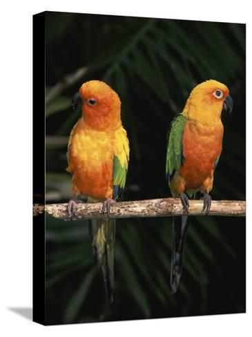 Sun Conures-Lynn M^ Stone-Stretched Canvas Print