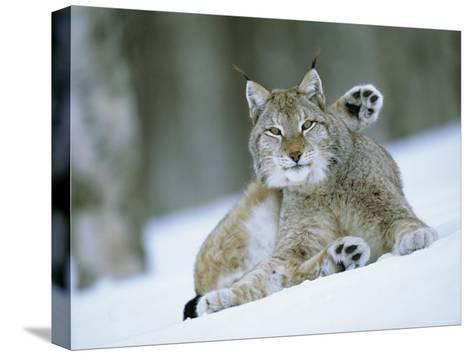 European Lynx Male Grooming in Snow, Norway-Pete Cairns-Stretched Canvas Print