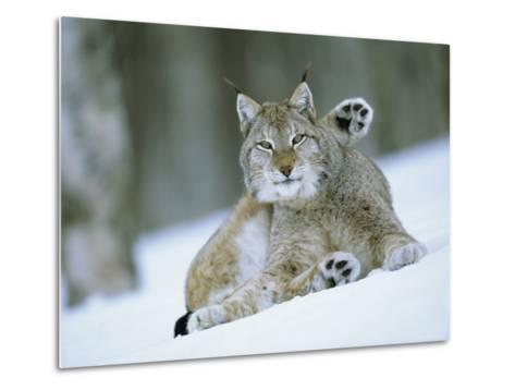 European Lynx Male Grooming in Snow, Norway-Pete Cairns-Metal Print