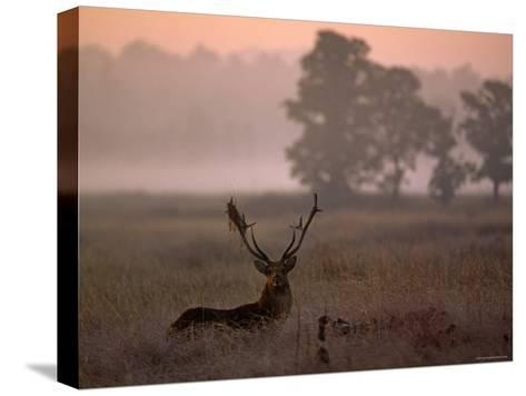 Barasingha / Swamp Deer, Male in Rut with Grass on Antler, Kanha National Park, India-Pete Oxford-Stretched Canvas Print