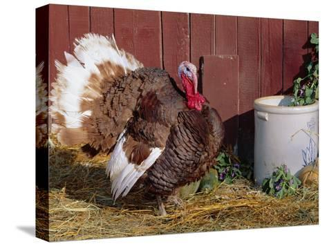 Bourbon Red Breed of Domestic Turkey, Male, USA-Lynn M^ Stone-Stretched Canvas Print