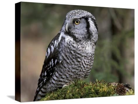 Northern Hawk Owl, Alaska, Us-Lynn M^ Stone-Stretched Canvas Print