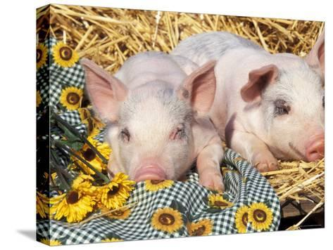 Two Domestic Piglets, Mixed-Breed-Lynn M^ Stone-Stretched Canvas Print