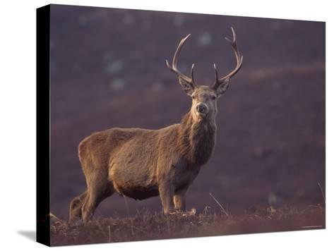 Red Deer Stag on Hillside, Inverness-Shire, Scotland-Niall Benvie-Stretched Canvas Print